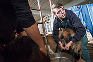 Spiros Kokkinos milks a goat in preparation for making goat's cheese. His father, Andreas Kokkinos, runs the Shepherd's Shelter on the slopes of Mount Ida on the Greek island of Crete. . Commissioned by PR Media Co.