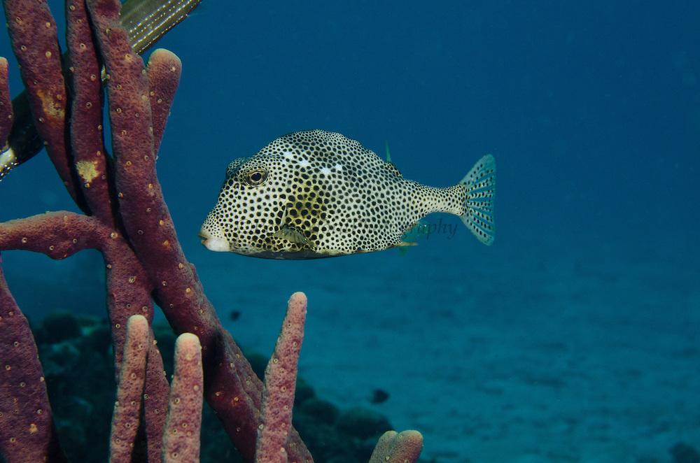 Spotted Trunkfish (Lactophrys bicaudalis)<br /> BONAIRE, Netherlands Antilles, Caribbean<br /> HABITAT &amp; DISTRIBUTION: Above reefs, hover over open holes or under ledges.<br /> Florida Keys, Bahamas, Caribbean and south to Brazil.