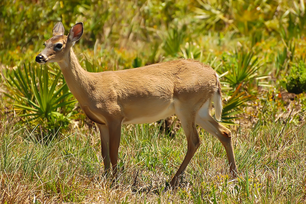 This deer got very close to us before seeing us and bolting in the Kissimmee Prairie Preserve in Okeechobee County - one of the most rural areas of Florida.