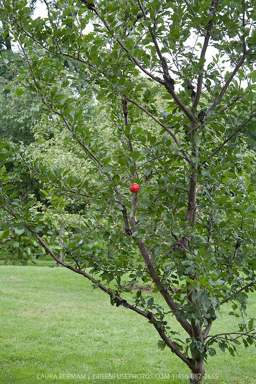 Clippings / Plantrx:  Apple orchard in spring ( May) with insect trap in tree..