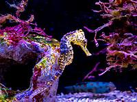 Seahorse - Hippocampe
