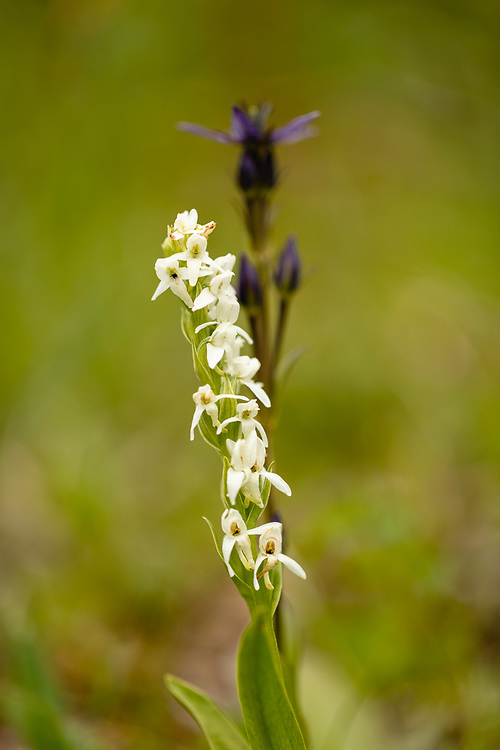Closeup of Bog Candle (Platanthera dilatata) and Star Gentian (Swertia perennis) in Palmer Creek Valley in Southcentral Alaska. Summer. Afternoon.