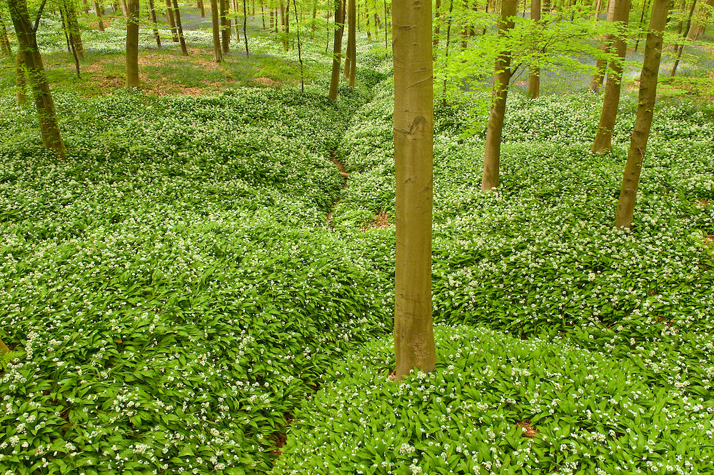 Bird's eye perspective on Hallerbos forest ground carpeted with wild garlic Allium ursinum, Belgium