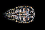 [captive] [Digital focus stacking] Marine Planktonic Copepod (Sapphirina sp.) Sapphirina, also called the sea sapphires is a copepod how is diffracting light with his exoskeleton. Atlantic Ocean, close to Cape Verde | Atlantischer Ozean, nahe Kap Verde