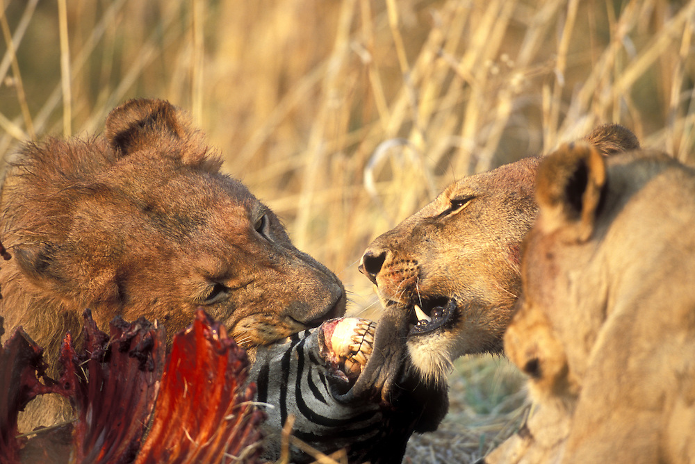 Africa, Botswana, Moremi Game Reserve, Lion pride  (Panthera leo) feeding on Zebra kill along Khwai River before dawn