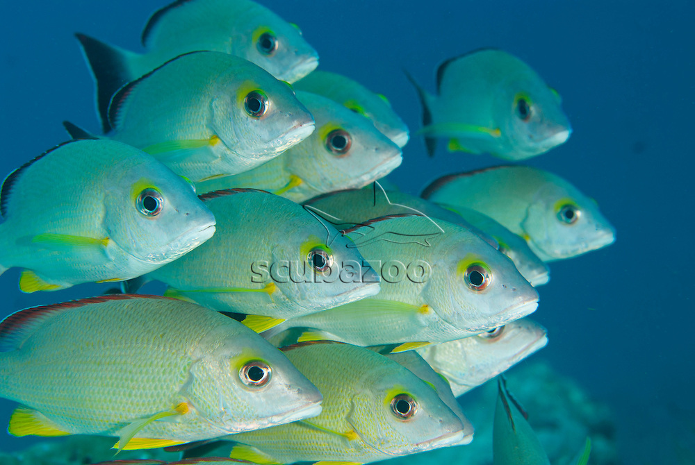 Blacktail Snapper,  Lutjanus fulvus, A school tightly together swimming, Mataking Island, Sabah, Borneo, Malaysia