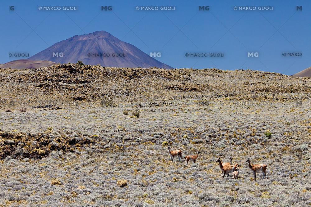 GUANACOS (Lama guanicoe) EN LA ESTEPA Y VOLCAN PAYUN LISO (3.833 m.s.n.m.), RESERVA PROVINCIAL LA PAYUNIA (PAYUN, PAYEN), MALARGUE, PROVINCIA DE MENDOZA, ARGENTINA (PHOTO © MARCO GUOLI - ALL RIGHTS RESERVED)