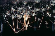 DEU, Deutschland: Spinnen, Große Zitterspinne (Pholcus phalangioides) Weibchen mit ihren Jungen im Netz, Cuxhaven, Niedersachsen | DEU, Germany: Spiders, Daddy long-legs spider (Pholcus phalangioides) female with juvenile spiders in web, Cuxhaven, Lower Saxony |