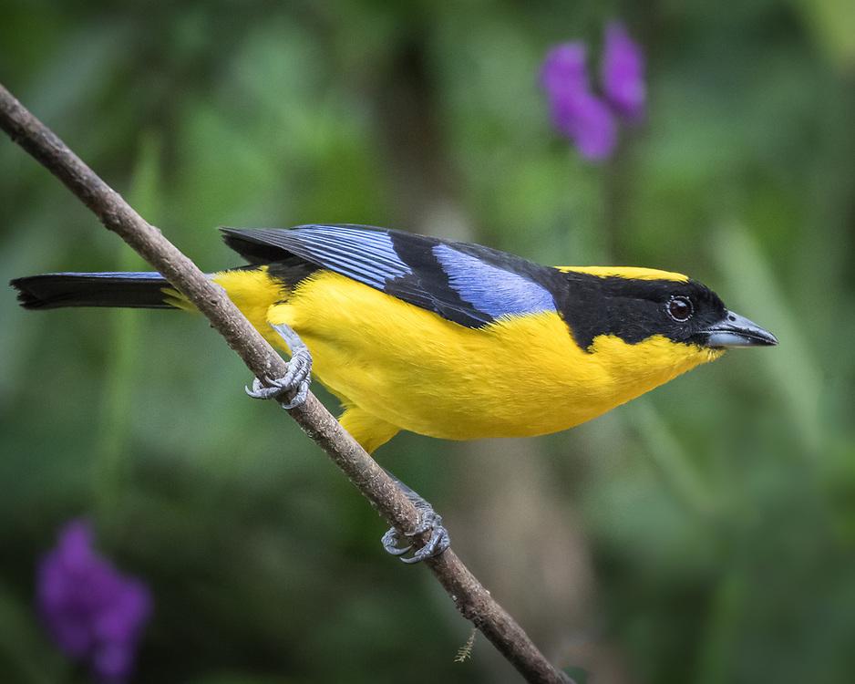 Anisognathus somptuosus, Ecuador