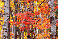 White birches and maples in fall color in the White Birch Forest of Pictured Rocks National Lakeshore near Grand Marais, Mich.