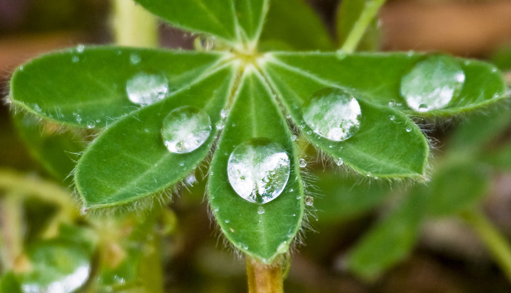 Five drops of dew rest artistically on five petals of a lupine (Lupinus perennis) plant.
