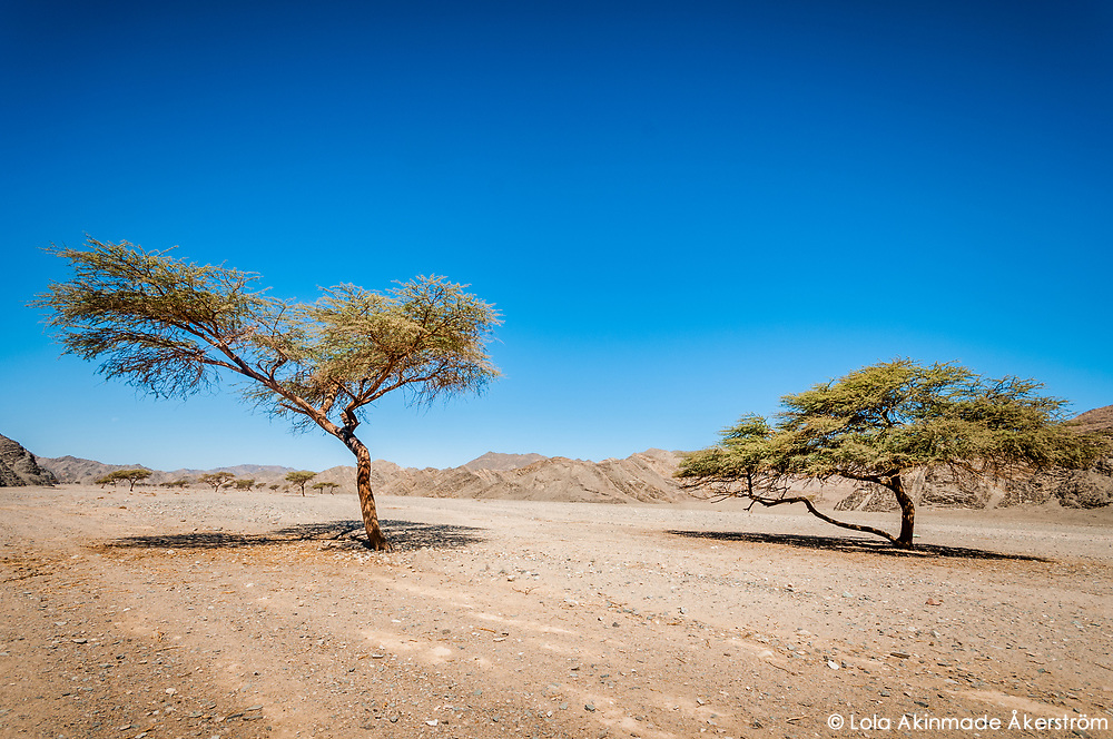 Acacia trees in the middle of the Eastern Desert