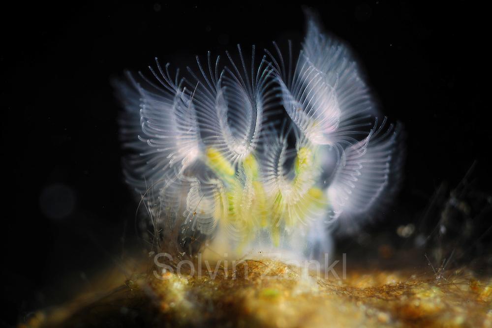 Bryozoa (Lophopus crystallinus) attached to pebble in freshwater river, Germany | Moostierchen (Lophopus crystallinus) leben in Fließgewässern auf Steinen. Sie werden auch Bryozoa oder Polyzoa genannt. Deutschland