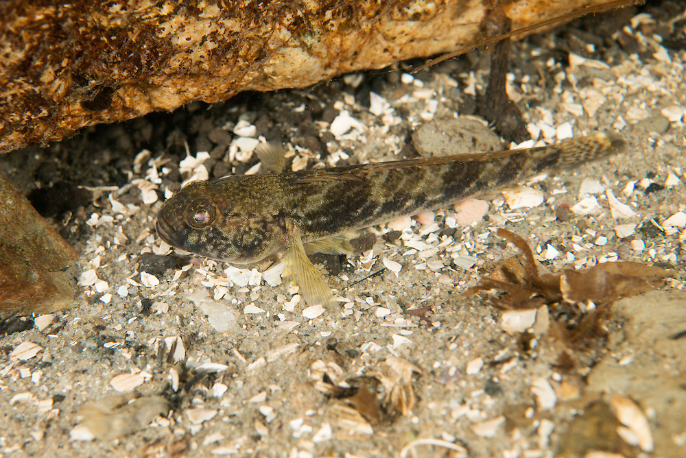 Freshwater goby 9 meters deep in a tributary to the Old Danube, Danube Delta, Romania.