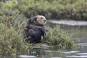 Southern Sea Otter<br /> Enhydra lutris<br /> Large male hauled out in pickleweed<br /> Monterey Bay,  CA, USA