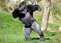 © Licensed to London News Pictures 02/05/2013.Kumbuka, a new male arrival to ZSL London Zoo from Paignton Zoo in Devon, runs across this enclousure. He is a 15 year old western lowland gorilla who weighs a hefty 29 stone (185 kgs)..London, UK.Photo: Anna Branthwaite/LNP