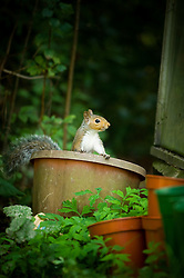 Grey squirrel in a garden plant pot, Leicester, England, United Kingdom.