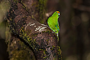 Yellow-crowned Parakeet, Fiordland, Routeburn, New Zealand