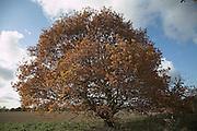 Golden brown autumn leaves of oak tree on heathland, Shottisham, Suffolk, England