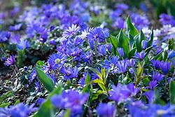 Anemone blanda 'Blue'