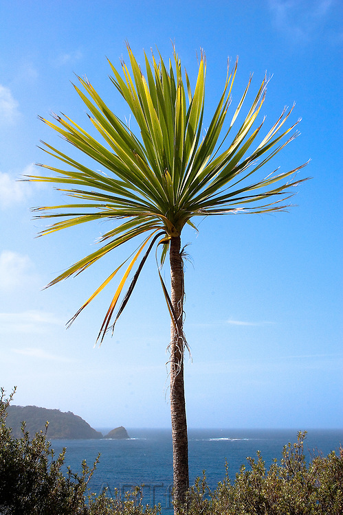 cabbage tree at Cape Brett