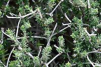 Thymus Capitatus (Coridothymus capitatus), Elafonissi, Crete