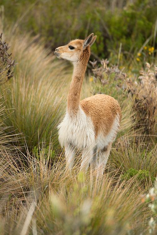 South America, Peru, Lake Titicaca, Suasi Island,  Vicuna; mammal; animal; wildlife