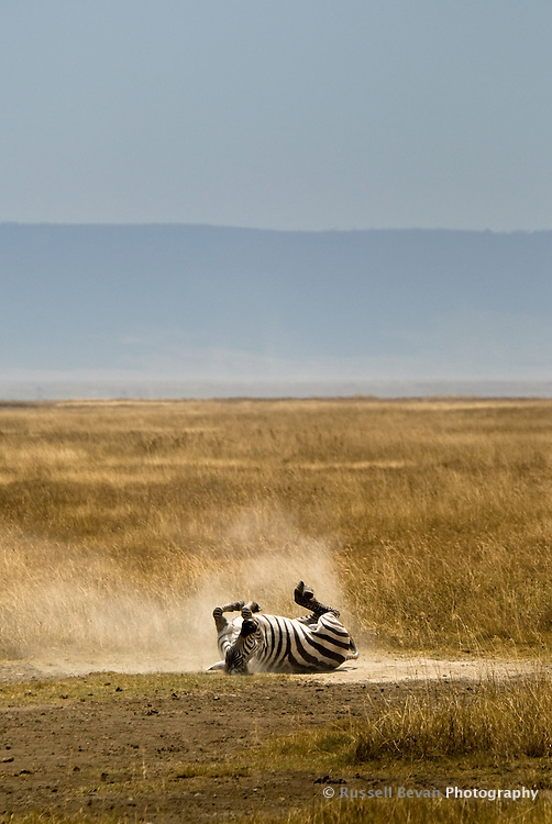 A lone Burchell's Zebra enjoying a dust bath in the Ngorongoro Crater, Tanzania