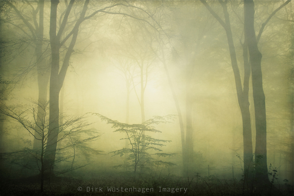Beech tree forest on a foggy spring morning.<br /> <br /> Prints &amp; more: http://society6.com/DirkWuestenhagenImagery/forest-awakening_Print
