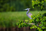 Tricolor Heron - Jefferson Island