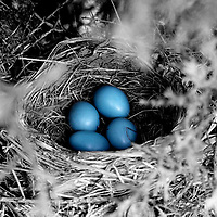 Robins Eggs in selective color.
