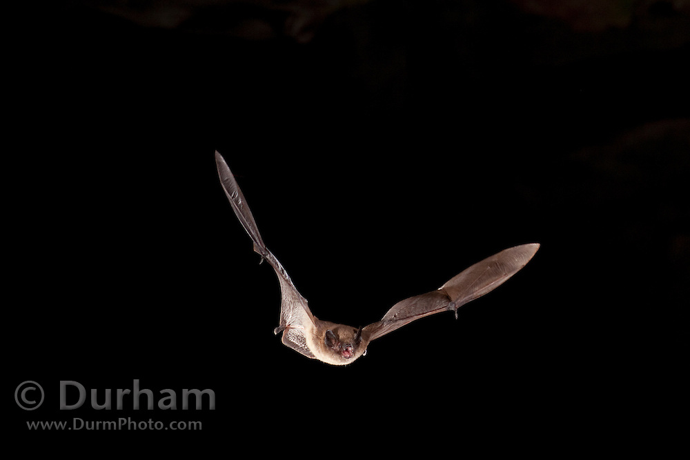 Long-legged Myotis (Myotis volans) flying out of pond cave at night. Craters Of The Moon National Monument, Idaho.