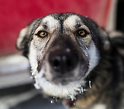 A sled dog rests after the first stage of the biennial Silver Sled dog sledding race in Haines Junction, Yukon on March 4, 2017.