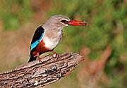 Grey-headed Kingfisher (Halcyon leucocephala), Lake Manyara NP., Tanzania.