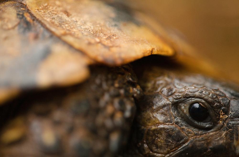 Hermann's tortoises (testudo hermanni), National Park Djerdab, Serbia