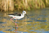 Black-winged Stilt feeding in the shallows of a wetland, Overberg, Western Cape, South Africa