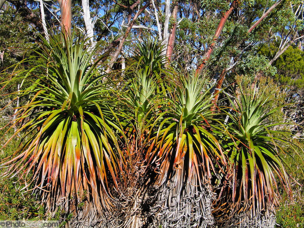 See Pandani (or Giant Grass Tree) along the Overland Track, in Cradle Mountain-Lake St Clair National Park, Tasmania, Australia. Pandani (Richea pandanifolia) is a species of flowering plant in the family Ericaceae, endemic to Tasmania. Pandani looks palm-like, usually growing as a single stem or occasionally branched, between 2 and 12 metres high. Densely crowded leaves taper to a point. The flowers appear in panicles, up to 25 centimetres long and are white to deep pink. The Tasmanian Wilderness was honored as a UNESCO World Heritage Site in 1982, expanded in 1989.