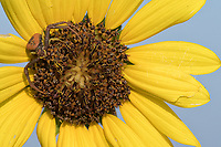 Annual sunflower, Helianthus annuus<br /> Crab Spider, Mecaphesa sp.<br /> Photographer: Robert Rommel<br /> Ranch: Sick Dog Ranch - Mitchell &amp; Dianne Dale, Michael Dale<br /> Jim Wells County