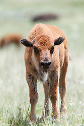 Bison calf in red fur (less than one month old), Vermejo Park Ranch, New Mexico, USA.