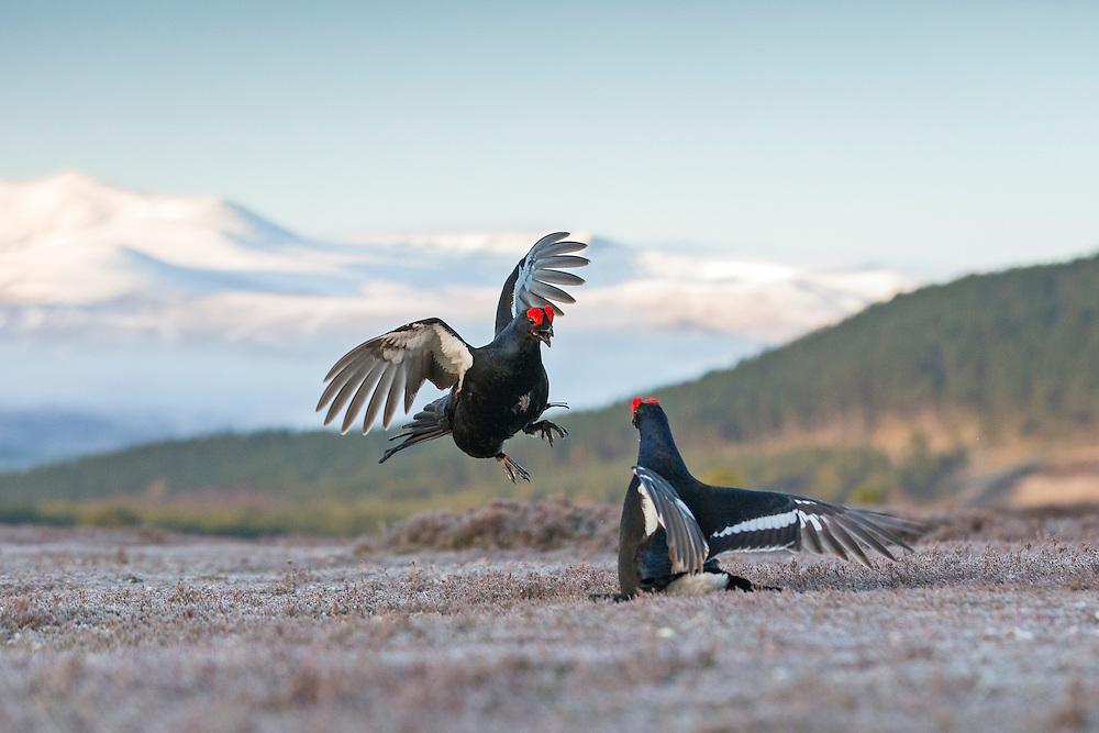 Black Grouse (Tetrao tetrix) two males fighting on lek, Cairngorms National Park, Scotland