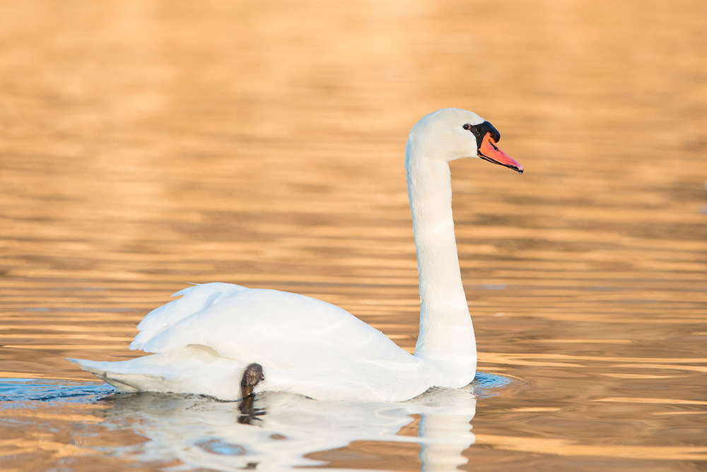 Mute Swan, White Rock Lake, Dallas, Texas