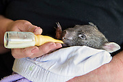 Common Wombat <br /> Vombatus ursinus<br /> Five-month-old orphaned joey (mother was hit by car) bottle-feeding<br /> Bonorong Wildlife Sanctuary, Tasmania, Australia<br /> *Captive- rescued and in rehabilitation program