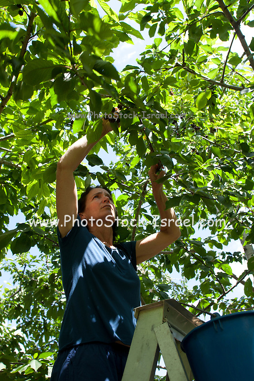woman picks ripe Cherries off a tree in a cherry orchard. Photographed in Cyprus