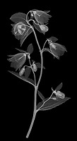 X-ray image of a 'Wedding Bells' bellflower stalk (Campanula punctata 'Wedding Bells', white on black) by Jim Wehtje, specialist in x-ray art and design images.