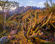 6104-1007C ~ Copyright:  George H. H. Huey ~ The Sierra de la Giganta with pitaya agria cactus [Stenocereus gummosus] and palo blanco tree, at sunrise.  South-central Baja California, Mexico.