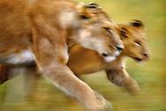 African lioness and cub, Panthera leo, Masai Mara Reserve, Kenya