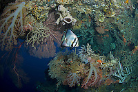 Pinnate Batfish in Coral Encrusted Arch