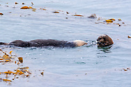 Two sea otters in the water.
