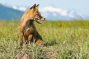 Red Fox, Vulpes fulva , Katmai National Park, Alaska