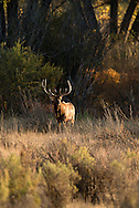 Bull elk, Cervus Canadensis, Charles M Russell National Wildlife Refuge, Montana